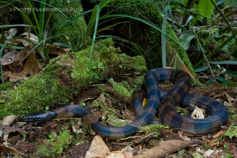 Adult ringed pythons lack the bright, conspicuous coloration of the juveniles – it may be difficult to mimic a walking stick if you are over a meter long! [Canon 1D MkII, Canon 16-35mm, speedlight Canon 580EX]
