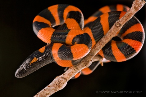 A young ringed python (Bothrochilus boa) from Papua New Guinea. [Canon 1Ds MkII, Canon 180mm macro, 2 speedlights Canon 580EX]