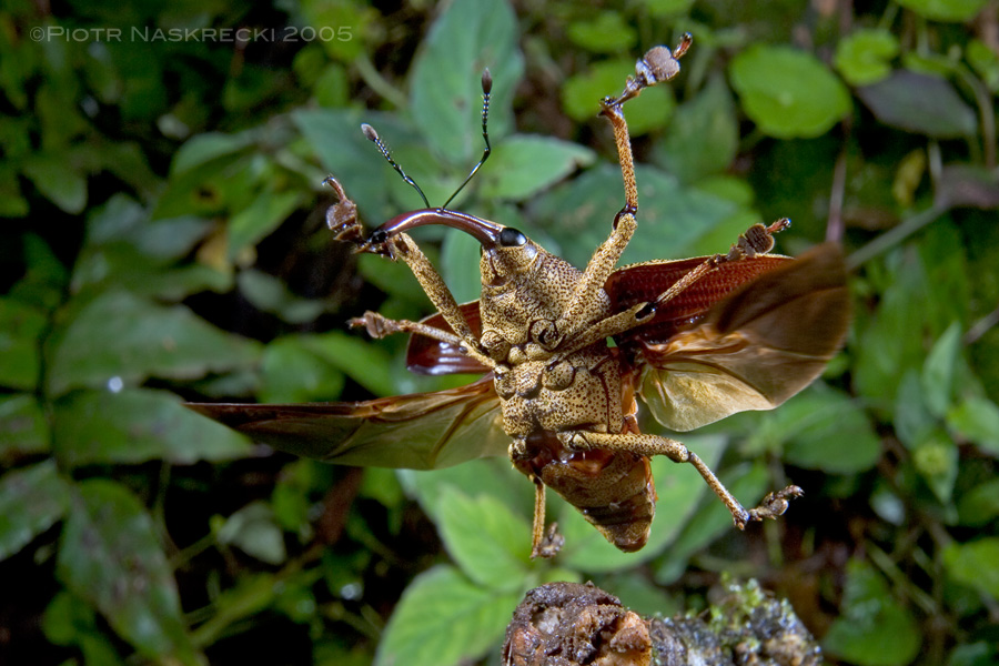 A Costa Rican weevil Cholus cinctus in flight. [Canon 1D MkII, Canon 16-35mm, 2 speedlights Canon 580EX]