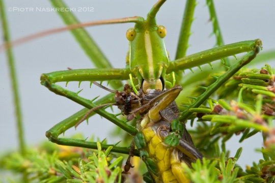 Clonia vittata from South Africa devouring a grasshopper. [Canon 1Ds MkII, Canon 100mm macro, 2 speedlights Canon 580EX + MT 24EX twin light]