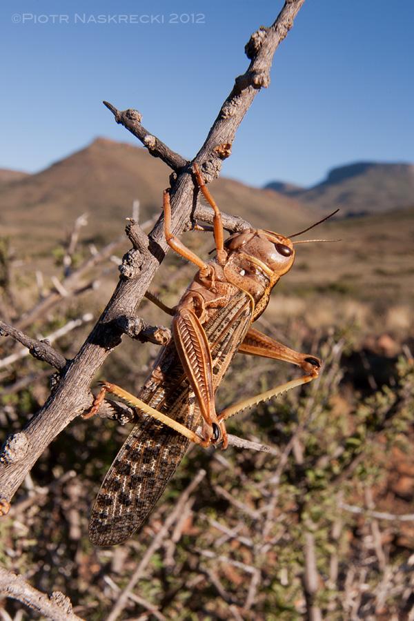 Brown locust (Locustana pardalina) [Canon 5D, Canon 16-35mm]