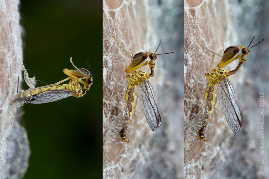 Mantidfly emerging from a spider egg sack on the tree trunk in Cambodia. [Canon 1Ds MkII, Canon 100mm macro, MT 24EX twin light]