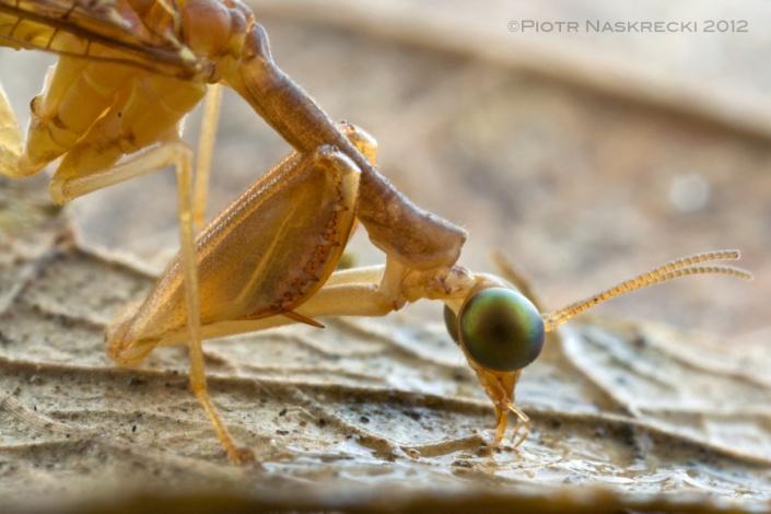 Mantidfly (Leptomantispa sp.) from Saba, Dutch West Indies. [Canon 1Ds MkII, Canon 100mm macro, 2 speedlights Canon 580EX + MT 24EX twin light]