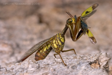 Mantidfly (Pseudoclimaciella sp.) from Botswana devouring a planthopper. [Canon 10D, Canon MP-E 65mm macro, Canon MT-24EX twin light]