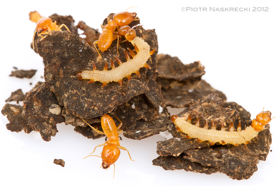 A fragment of the carton structure of the Schedorhinotermes lamanianus colony with termite soldiers and caterpillars of Paraclystis integer [Canon 7D, Canon 100mm macro, 3 speedlights Canon 580EXII]