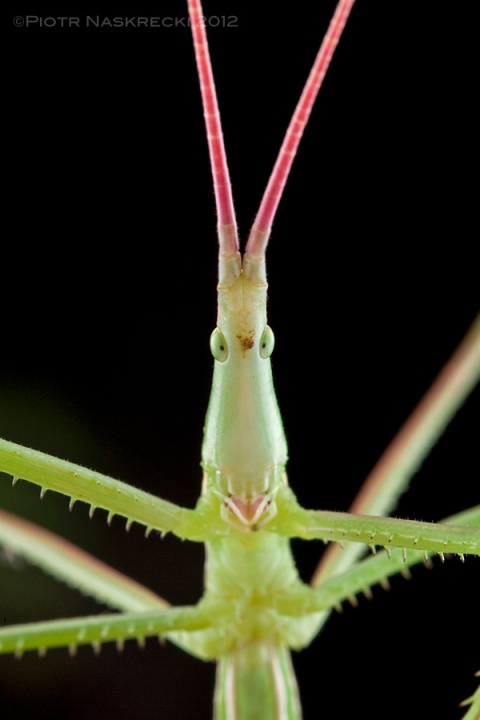 The genus Perigueyella from South Africa includes very long but very slender predatory katydids. [Canon 1Ds MkII, Canon 100mm macro, 2 speedlights Canon 580EX + MT 24EX twin light]