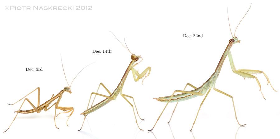 Instars I, II, and II of the Chinese mantis (Tenodera parasinensis).