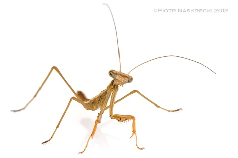 A newly hatched CHinese mantis (Tenodera parasinensis) [Canon 7D, Canon 100mm macro, 3 speedlights Canon 580EXII]