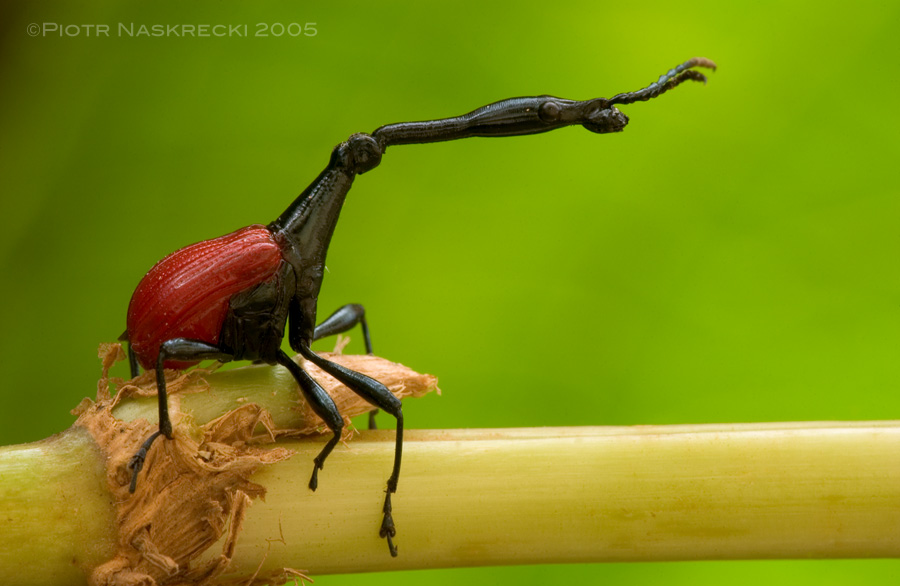 "The long ""neck"" of the giraffe weevil (Trachelophorus giraffe) is used in ritualized male combat (Madagascar). [Nikon D1X, Sigma 180mm macro]"