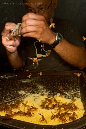 Wide-angle macrophotography usually requires long exposures, and thus capturing fast-moving animals is difficult. Here, mammalogist Burton Lim is processing bats collected in Suriname, while small stingless bees are gorging on cornmeal that he uses to dry his specimens. I was able to freeze the action and partially expose the background using twin flashes Canon MT-24EX, and Canon EF 14mm mounted on Canon 7D.