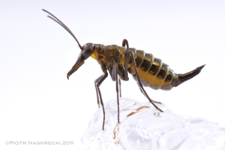 A female snow scorpionfly (Boreus brumalis) is completely wingless and carries a long ovipositor. [Canon 1D MkII, Canon MP-E 65mm, 2 speedlights Canon 580EX]