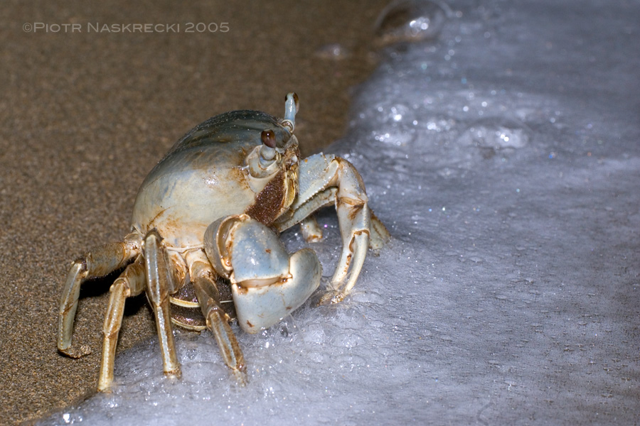 Unable to break her ties to the sea, a female blue land crab cautiously approaches the edge of the beach to release her eggs during the full moon. Shecannot swim, thus she must be careful not to be swept away by the waves, and soon she runs back to her burrow in the forest. Her planktonic larvae will develop into tiny crabs in less than two months and then will leave the ocean to begin terrestrial life. [Nikon D1x, Nikkor 17-35mm, flash Nikon SB-28DX]