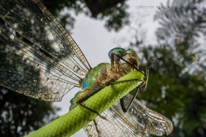 Costa Rican dragonfly (Gynacantha tibiata) drying off its wings after the rain. Taken with a Canon 16-35mm lens with an added extension tube Canon EF 12 II; lighting was provided by a twin flash Canon MT-24EX.