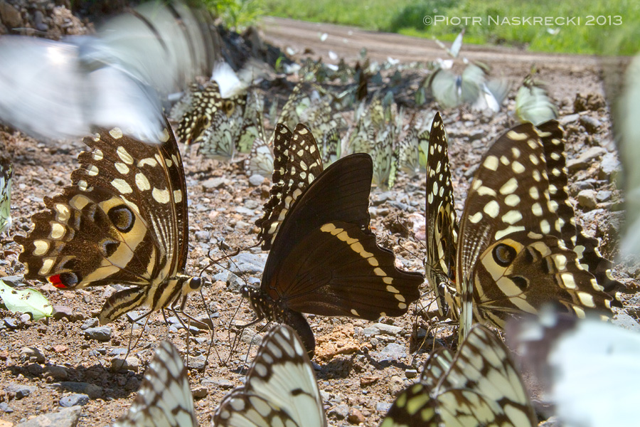 In Eastern Cape of South Africa a beautiful flock of butterflies is puddling on the side of a road