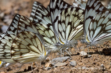 African veined white (Belenois gidica) extracting minerals from wet sand (Eastern Cape, S. Africa) [Canon 7D, Canon 100mm macro]