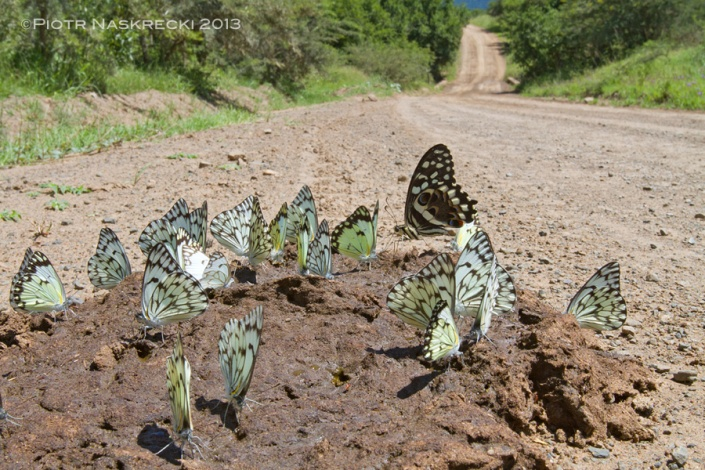 The best spots to see large aggregations of tropical butterflies are often places visited by large grazers. Their dung often attracts many different species of insects seeking sodium and amino acids. [Canon 7D, Canon 16-35mm]