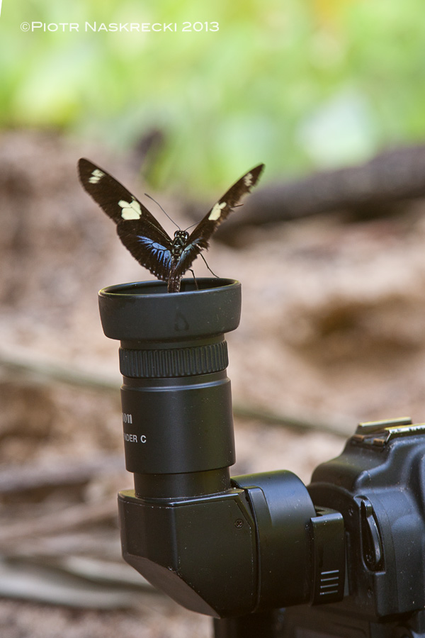 To some butterflies, residues of my sweat were more tempting than the stuff in the sand (tapir – 0, me – 1) [Canon 5D, Canon 100-400mm]