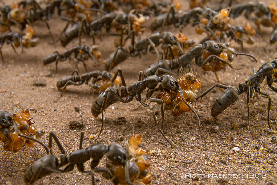 A column of Matabele ants (Pachycondala analis) returning from a successful raid on a colony of termites in Gorongosa National Park in Mozambique. This photo was taken with a Canon 16-35mm lens with an added extension tube Canon EF 12 II; lighting was provided by a diffused twin flash Canon MT-24EX.