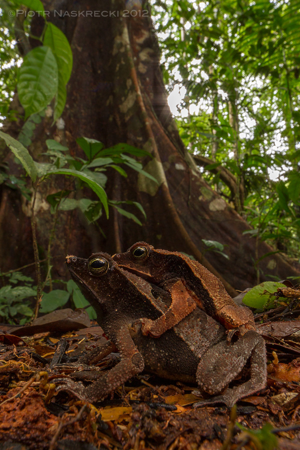 Getting low to the ground enhances the illusion that you are as small as the subjects of the photo. I photographed these leaf toads (Rhinella lescueri) in Suriname using a Canon EF 14mm on Canon 7D with an angle viewfinder, and lighted it with a single speedlight Canon 580EXII in a softbox.