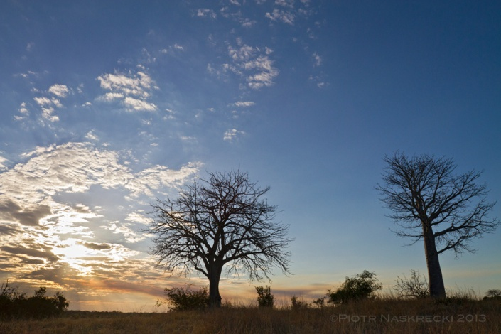 The bark of baobabs (Adansonia digitata), a common tree of Gorongosa,  is a great place to look for cryptic animals.