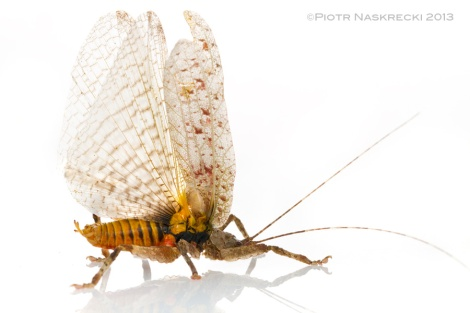 When threatened, bark katydids fan their wings to reveal aposematic coloration and spray the attacker with foul-smelling chemical.