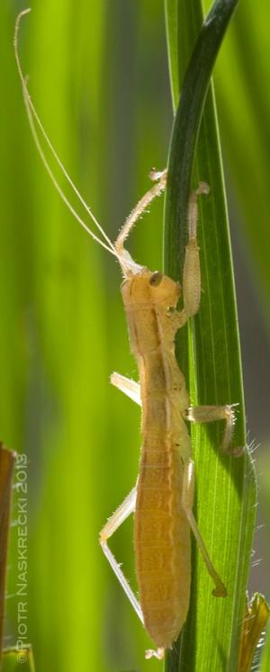 Kuduberg heelwalker (Mantophasma kudubergense) from Namibia [Nikon D1x, Sigma 180mm]