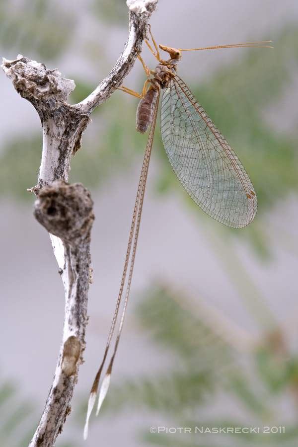 Spoon-winged lacewings (?Nemia sp.) from Richtersveld National Park, South Africa [Canon 1Ds MkII, Canon 100mm macro, 2 x Canon 580EX]