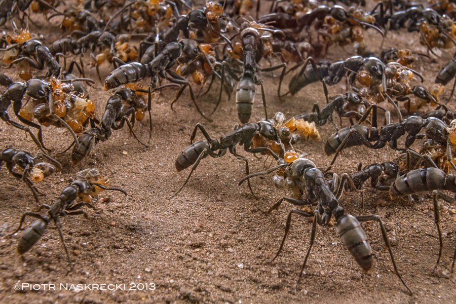 Matabele ants (Pachycondyla analis) returning from a successful raid on a termite colony in Gorongosa. [Canon 7D, Canon 16-35mm with an extension tube Canon EF 12 II, diffused twin flash Canon MT-24EX]