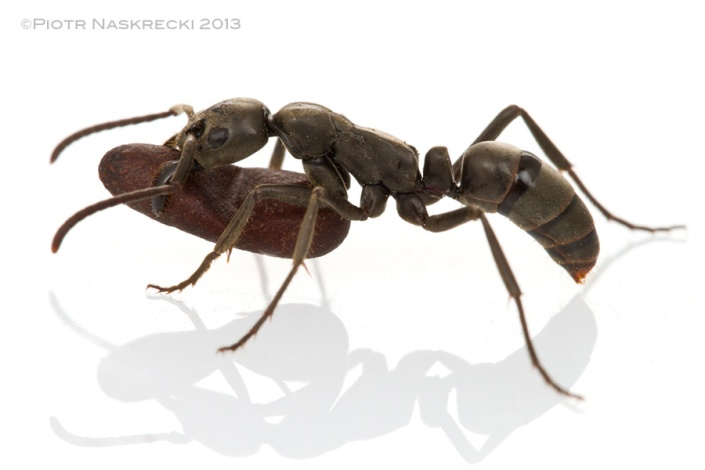 Matabele ant worker carrying a pupa [Canon 7D, Canon MP-E 65mm, 3 speedlights Canon 580EXII]