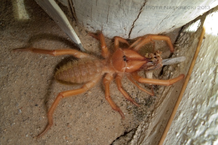 """The very first solifugid that I ever saw. When I posted this photo on Flickr, the always hilarious Brandi Schuster commented, """"Solifugid. That sounds like the noise that I would make if I ever saw one of those fuckers in real life."""" [Canon G10]"""