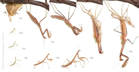 The complete developmental cycle of Chinese mantis (Tenodera parasinensis) - it began on December 4th, 2012 and ended with the final molt on February 17th, 2013.