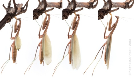 A female Chinese mantis expanding her wings after the final (imaginal) molt.
