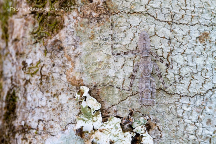 A young praying mantis (Theopompa sp.) is nearly invisible on a lichen-covered bar, and as dangerous to animals living on trees as a lion is to grazers of the Gorongosa plains.