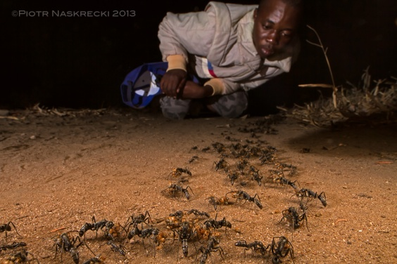 "A budding myrmecologist Tonga Torcida watching a returning raid of Matabele ants (you can see Tonga assisting E.O. Wilson with ant research in Gorongosa in the new, fantastic BBC documentary ""Africa: The Future"") [Canon 7D, Canon EF 14mm, diffused twin flash Canon MT-24EX + speedlight 580EX II]"