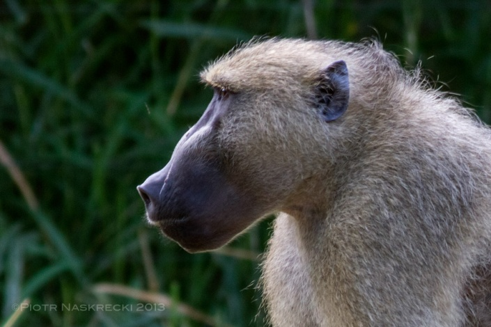 This Yellow baboon (Papio cynocephalus) got in our cabin this morning and stole our bananas. Just a reminder to keep our doors and windows locked, we are on their turf here.
