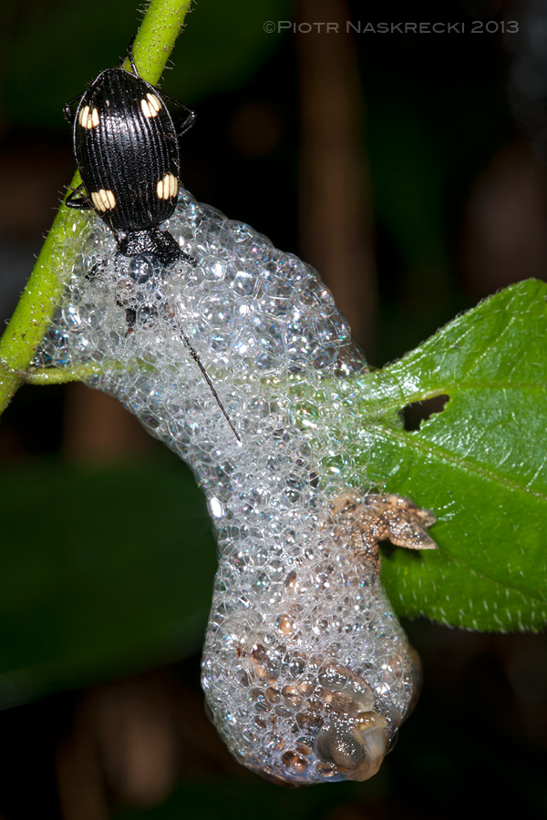 A few minutes later the snail slides away protected with a cocoon of sticky mucus foam