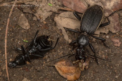Below my feet, carnage. A big Anthia ground beetle killed another individual and is now gorging on it favorite soft part – the ripped off genitalia. [Canon 180mm, Canon MT 24EX twin light]