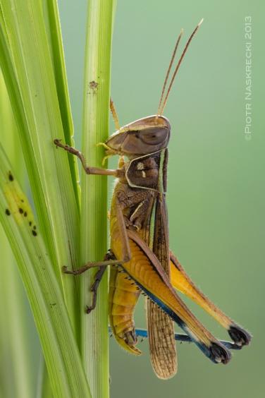 A male Cataloipus cognatus munching on grass. [Canon 6D, Canon 100mm macro, 3 x Canon 580EXII]
