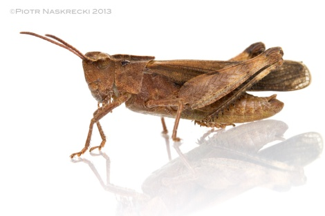 An adult male of the Green-striped Grasshopper photographed in May 2012 [Canon 7D, 3 speedlights Canon 580EXII]