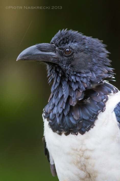 African Pied Crow (Corvus albus) is a handsome, intelligent bird, but for some reason birders tend to ignore this species.