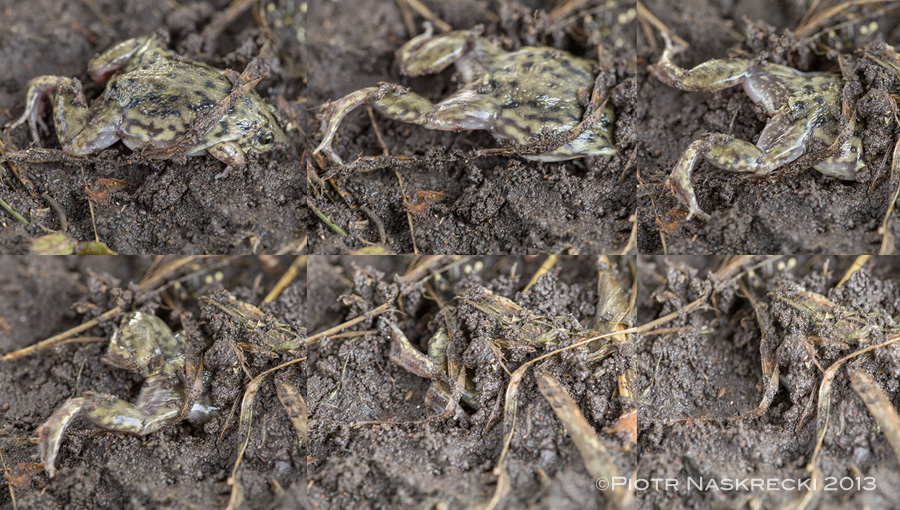 The preferred mode of escape of the Shovel-nosed frog is to disappear underground. Their pointy snout and powerful hind legs allow them to dig in completely in only a few seconds.