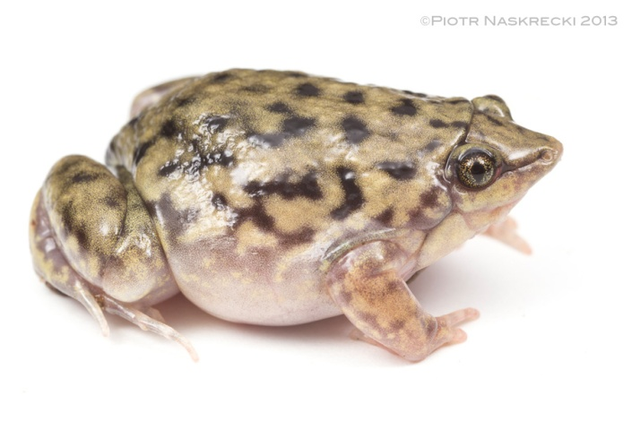 Although officially known as the Shovel-nosed frog (Hemisus marmoratus), I think you will agree that a direct translation of its scientific name, the Marbled half-piglet, is more appropriate.
