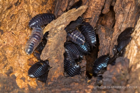 Mysterious beetle larvae in a tree cavity in Gorongosa. [Canon 6D, Canon 100mm macro, Canon MT 24EX twin light]