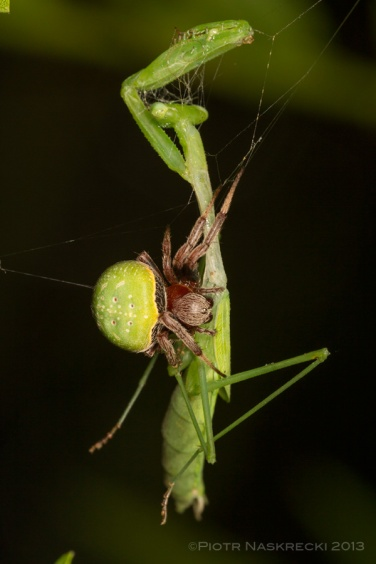 This poor mantis clearly overestimated her hunting abilities – the spider she had caught not only managed to escape her grip, but also killed and eventually ate her.