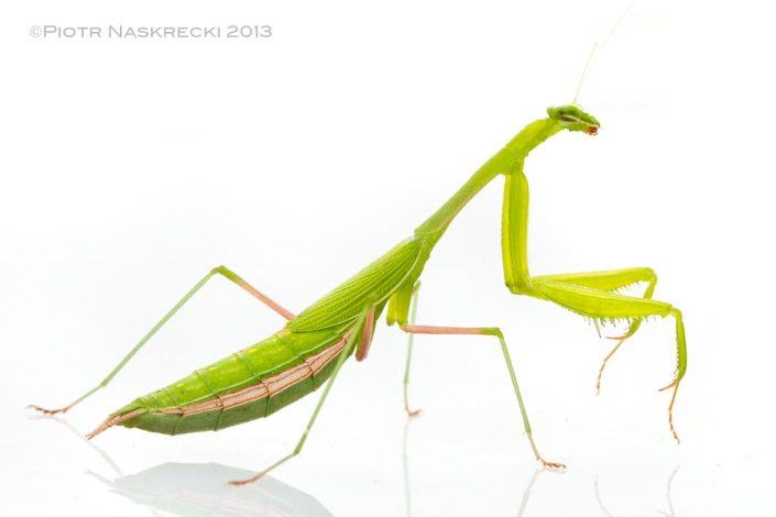Miomantis is a large genus of small praying mantids, with about 75 species known from across Africa. Females, like this individual, are usually short winged, while males are fully winged and are excellent fliers.