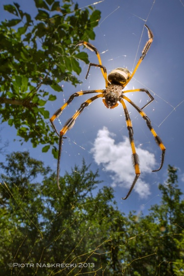 Banded-legged golden orb weaver (Nephila senegalensis) from Gorongosa [Canon 7D, Canon 14mm, Canon MT 24EX twin light]