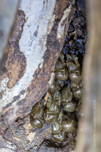 A cluster of pupae in a tree cavity. [Canon 6D, Canon 100mm macro, illuminated with a headlamp]