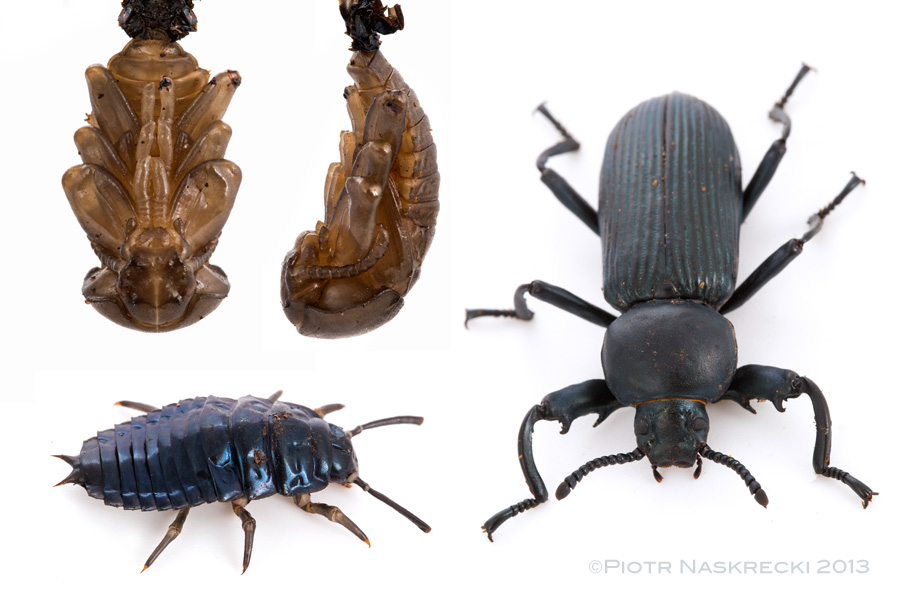 "Three developmental stages of a mystery beetle, found together in the same tree ""colony"", tentatively identified as Strongylium sp. (Tenebrionidae). [Canon 6D, Canon 100mm macro, 3 x Canon 580EXII]"