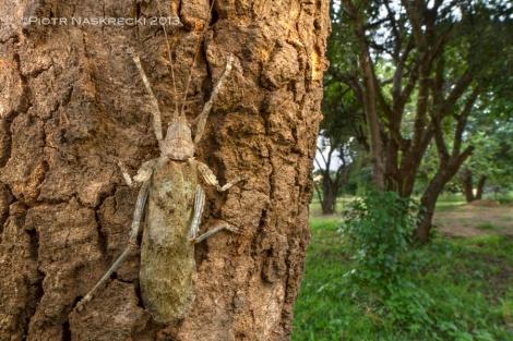 Greater bark katydid (Cymatomerella spilophora)
