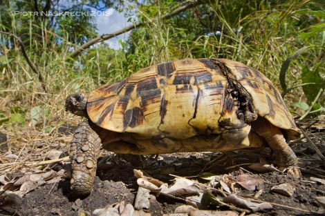 An adult Hingeback tortoise (Kinixys belliana) from Gorongosa. What looks like a wound on its carapace is a flap of skin that allows the shell to close and protect the hind legs and tail.